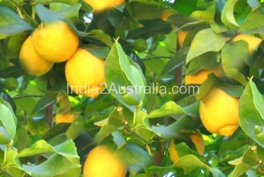 How to plant  a lemon tree ?