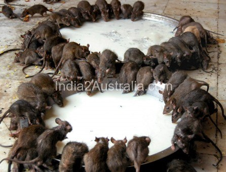 India's  Temple of Rats at Deshnoke