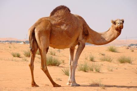 feral camel
