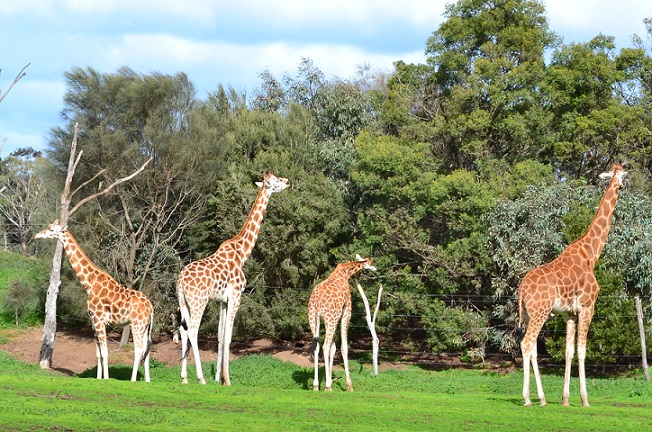 Werribee open range zoo3