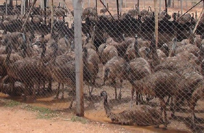 How Australia's Emus brought tears in Indian eyes in 2012