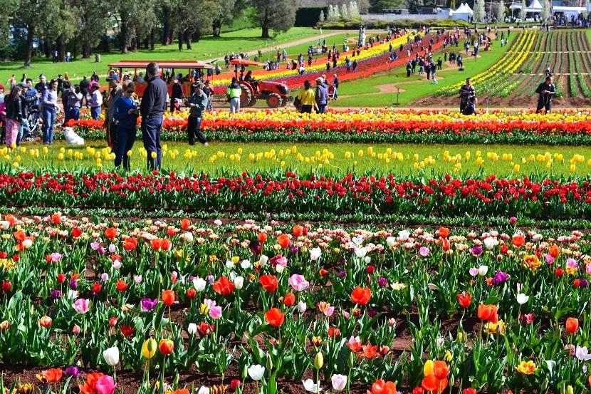 tulip-festival-melbourne-2