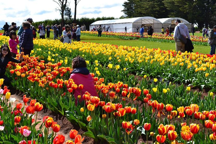 tulip-festival-melbourne-5