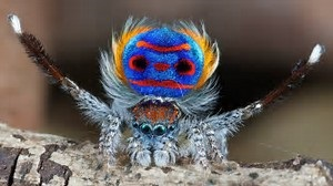 Peacock spiders