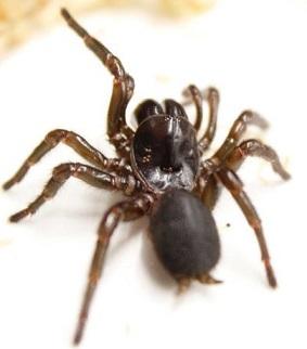 Tasmanian funnel web spider