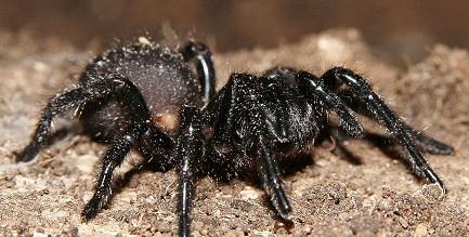 Victorian funnel web spider