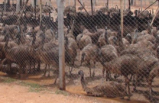 emu-farm-in-india