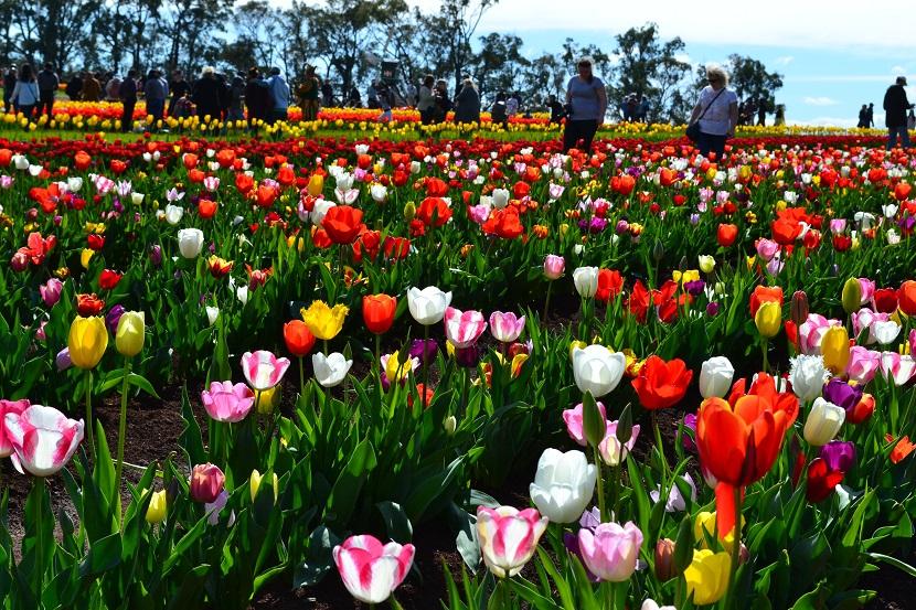 tulip-festival-4