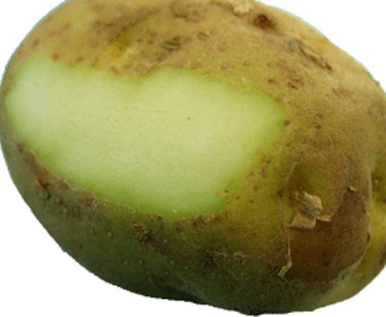 Do you know Potatoes with Green discolouration can kill you?