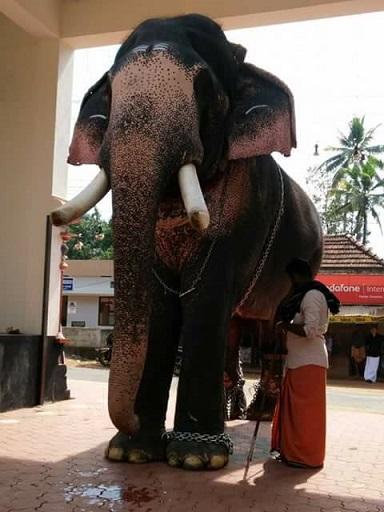 The Indian Elephant